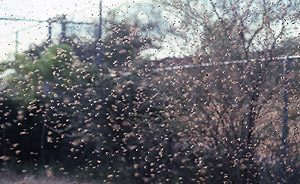 img_africanized_bees - huntington beach wasp nest removal
