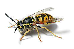 yellow jacket removal services