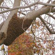aliso viejo bee removal