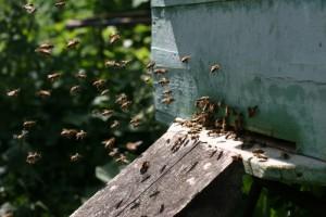 Bee Swarm - Bee Removal Long Beach