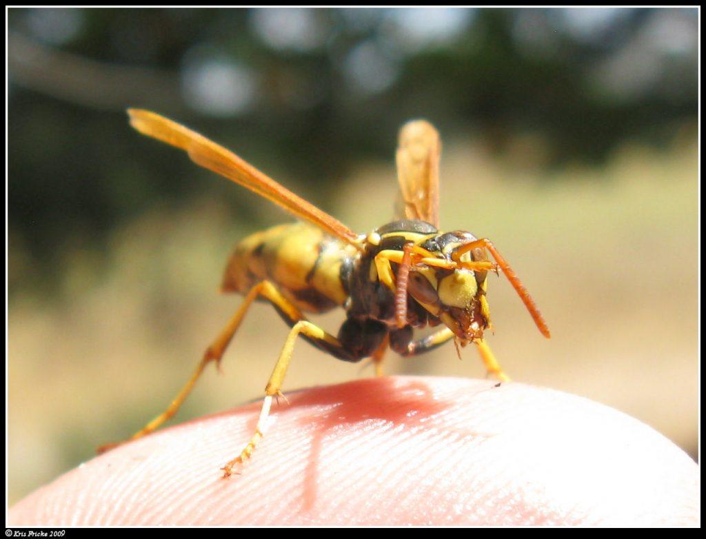 Irvine wasp nest removal