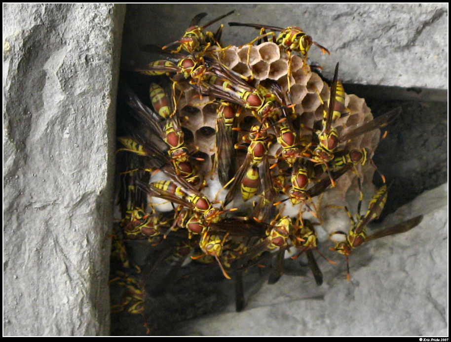 Wasp Nest - Irvine wasp nest removal