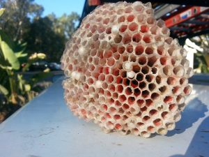 Bee nest - Wasp nest removal Orange County