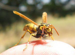 wasp - laguna beach wasp nest removal