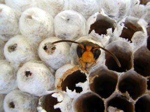 wasp emerging from nest - costa mesa wasp nest removal