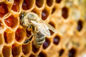 Bee on honeycomb - professional bee removal Garden Grove
