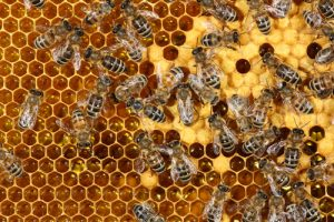 Honeycomb - how to remove honey bee nest without killing them