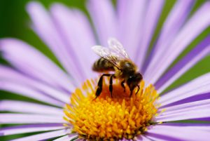 Bee on a flower - bee removal services near me in Garden Grove