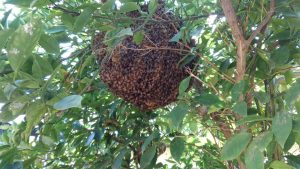 Bee removal Mission Viejo, bees in mission viejo